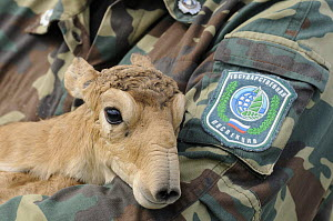 Newborn Saiga antelope (Saiga tatarica) being held for weighing and measuring by staff of the Cherniye Zemli (Black Earth) Nature Reserve, Kalmykia, Russia, May 2009  -  Wild Wonders of Europe / Shpilenok