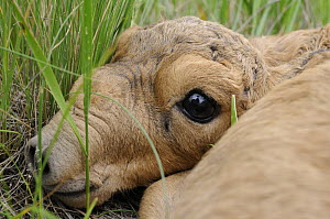 Newborn Saiga antelope (Saiga tatarica) lying in grass, Cherniye Zemli (Black Earth) Nature Reserve, Kalmykia, Russia, May 2009  -  Wild Wonders of Europe / Shpilenok