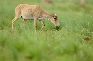 Female Saiga antelope (Saiga tatarica) grazing, Cherniye Zemli (Black Earth) Nature Reserve, Kalmykia, Russia, May 2009. WWE INDOOR EXHIBITION  -  Wild Wonders of Europe / Shpilen