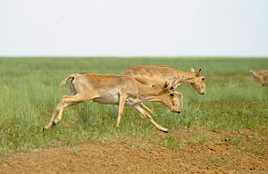 Saiga antelopes (Saiga tatarica) male and female, running, Cherniye Zemli (Black Earth) Nature Reserve, Kalmykia, Russia, May 2009  -  Wild Wonders of Europe / Shpilenok