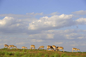 Saiga antelope (Saiga tatarica) herd at salt lick, Cherniye Zemli (Black Earth) Nature Reserve, Kalmykia, Russia, May 2009  -  Wild Wonders of Europe / Shpilenok