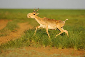 Male Saiga antelope (Saiga tatarica) running, Cherniye Zemli (Black Earth) Nature Reserve, Kalmykia, Russia, May 2009 WWE BOOK PLATE. WWE OUTDOOR EXHIBITION Wild Wonders kids book.  -  Wild Wonders of Europe / Shpilen
