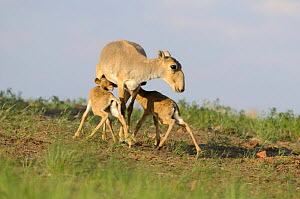 Saiga antelope (Saiga tatarica) with two calves suckling near Cherniye Zemli (Black Earth) Nature Reserve, Kalmykia, Russia, May 2009  -  Wild Wonders of Europe / Shpilenok