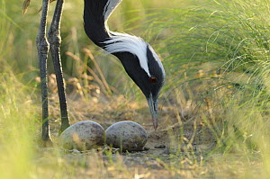 Demoiselle crane (Anthropoides virgo) tending two eggs in its nest, Cherniye Zemli (Black Earth) Nature Reserve, Kalmykia, Russia, May 2009  -  Wild Wonders of Europe / Shpilenok