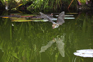 Natterer's bat (Myotis nattereri) flying low over a pond at night, Surrey, UK - Kim Taylor