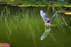 Natterer's bat (Myotis nattereri) drinking from the surface of a lily pond, Surrey, UK - Kim Taylor