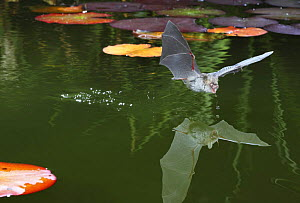 Natterer's bat (Myotis nattereri) just after drinking from the surface of a lily pond, Surrey, UK - Kim Taylor