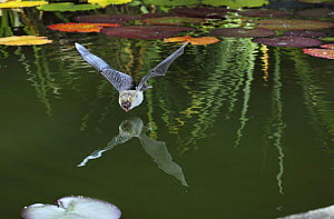 Natterer's bat (Myotis nattereri) about to drink from the surface of a lily pond, Surrey, UK - Kim Taylor