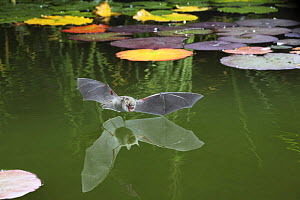Natterer's bat (Myotis nattereri) flying in to drink from the surface of a pond, Surrey, UK - Kim Taylor