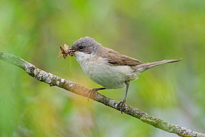 Lesser whitethroat (Sylvia curruca) adult with food for chicks, Lithuania, May 2009  -  Wild Wonders of Europe / Hamblin