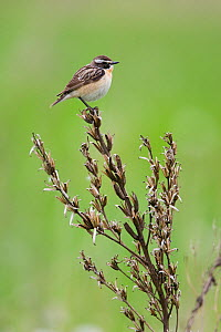Male Whinchat (Saxicola saxicola) perched, Lithuania, May 2009 - Wild Wonders of Europe / Hamblin
