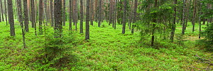 Coniferous forest in spring, near Vilnius, Lithuania, May 2009  -  Wild Wonders of Europe / Hamblin