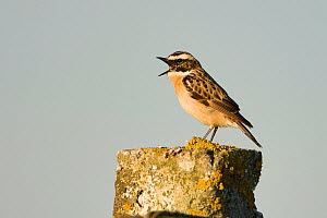Whinchat (Saxicola saxicola) male singing perched on post, Lithuania, May 2009 - Wild Wonders of Europe / Hamblin
