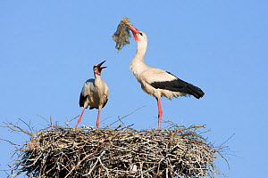 White stork (Ciconia ciconia) pair at nest engaged in courtship display, male with nesting material, Lithuania, May 2009  -  Wild Wonders of Europe / Hamblin