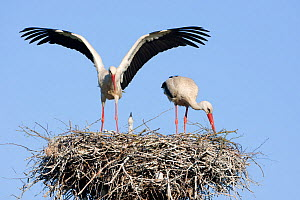 White stork (Ciconia ciconia) pair at nest site with chick, Lithuania, May 2009 - Wild Wonders of Europe / Hamblin