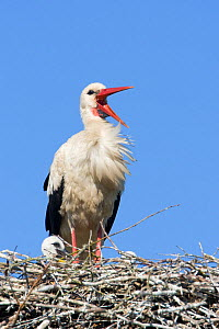 White stork (Ciconia ciconia) adult in breeding plumage on nest, calling, Lithuania, May 2009  -  Wild Wonders of Europe / Hamblin