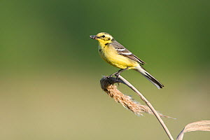 Yellow wagtail (Motacilla flava) adult perched with food for chicks, Lithuania, May 2009  -  Wild Wonders of Europe / Hamblin