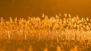 Common reed (Phragmites australis) backlit in evening light, Lithuania, May 2009  -  Wild Wonders of Europe / Hamblin