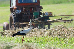 White stork (Ciconia ciconia) following tractor searching for insects amongst hay, Lithuania, June 2009  -  Wild Wonders of Europe / Hamblin