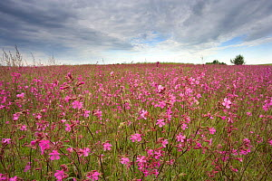 Sticky catchfly (Silene viscaria) in flower meadow, Lithuania, June 2009  -  Wild Wonders of Europe / Hamblin