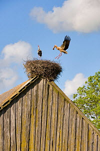 White stork (Ciconia ciconia) pair nesting on old barn, Nemunas regional reserve, Lithuania, June 2009  -  Wild Wonders of Europe / Hamblin