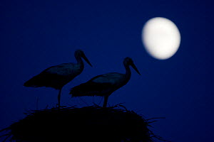 White stork (Ciconia ciconia) pair at nest, dusk, with moon, Nemunas Delta, Lithuania, June 2009  -  Wild Wonders of Europe / Hamblin