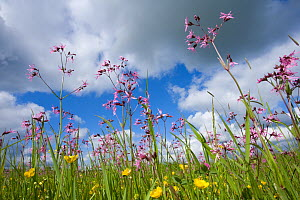 Ragged robin (Silene flos-cuculi) in flower meadow, Nemunas Regional Reserve, June 2009  -  Wild Wonders of Europe / Hamblin