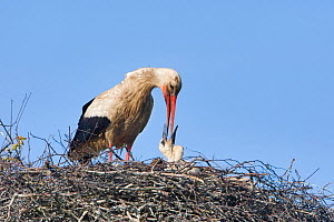 White stork (Ciconia ciconia) adult feeding chick at nest, Rusne, Nemunas Regional Park, Lithuania, June 2009  -  Wild Wonders of Europe / Hamblin