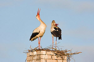 White stork (Ciconia ciconia) pair at nest site on old chimney, Rusne, Nemunas Regional Park, Lithuania, June 2009  -  Wild Wonders of Europe / Hamblin