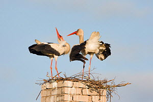 White stork (Ciconia ciconia) pair, courtship, at nest on old chimney, Rusne, Nemunas Regional Park, Lithuania, June 2009 - Wild Wonders of Europe / Hamblin