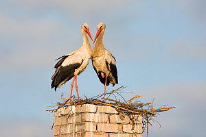 White stork (Ciconia ciconia) pair at nest on old chimney, Rusne, Nemunas Regional Park, Lithuania, June 2009  -  Wild Wonders of Europe / Hamblin