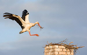 White stork (Ciconia ciconia) landing on chimney with nesting material, Rusne, Nemunas Regional Park, Lithuania, June 2009  -  Wild Wonders of Europe / Hamblin