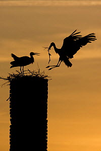 White stork (Ciconia ciconia) landing with nest material, silhouetted at dusk, Rusne, Nemunas Regional Park, Lithuania, June 2009 WWE OUTDOOR EXHIBITION. Wild Wonders kids book.  -  Wild Wonders of Europe / Hamblin