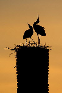 White stork (Ciconia ciconia) pair displaying, silhouetted at nest on old chimney, Rusne, Nemunas Regional Park, Lithuania, June 2009  -  Wild Wonders of Europe / Hamblin