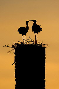 White stork (Ciconia ciconia) pair silhouetted at nest on old chimney, Rusne, Nemunas Regional Park, Lithuania, June 2009  -  Wild Wonders of Europe / Hamblin