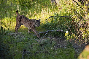 Wild Iberian lynx (Lynx pardinus) female, one year walking, Sierra de And�jar Natural Park, Mediterranean woodland of Sierra Morena, north east Ja�n Province, Andalusia, Spain, April 2009, Critically...  -  Wild Wonders of Europe / Oxford