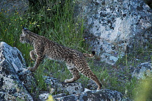 Wild Iberian lynx (Lynx pardinus) female, one year, on rocks, Sierra de And�jar Natural Park, Mediterranean woodland of Sierra Morena, north east Ja�n Province, Andalusia, Spain, April 2009, Criticall...  -  Wild Wonders of Europe / Oxford