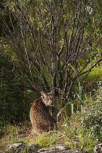 Wild Iberian lynx (Lynx pardinus) male, one year, with GPS tracking collar, sitting, Sierra de And�jar Natural Park, Mediterranean woodland of Sierra Morena, north east Ja�n Province, Andalusia, Spain... - Wild Wonders of Europe / Oxford