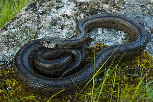 Ladder snake (Elaphe scalaris) on rock, Sierra de And�jar Natural Park, Mediterranean woodland of Sierra Morena, north east Ja�n Province, Andalusia, Spain, April 2009  -  Wild Wonders of Europe / Oxford