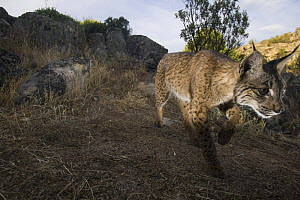 Wild Iberian lynx (Lynx pardinus) male walking, Sierra de And�jar Natural Park, Mediterranean woodland of Sierra Morena, north east Ja�n Province, Andalusia, Spain, May 2009, Critically endangered  -  Wild Wonders of Europe / Oxford