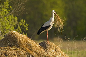 White stork (Ciconia ciconia) on hay mound carrying some in its beak, Matsalu National Park, Estonia, May 2009 - Wild Wonders of Europe / Rautiainen