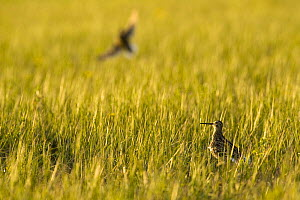 Great snipe (Gallinago media) in grassland, Matsalu National Park, Estonia, May 2009  -  Wild Wonders of Europe / Rautiainen