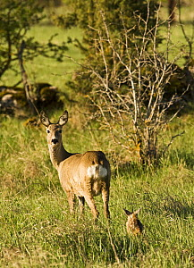 Roe deer (Capreolus capreolus) with fawn, Matsalu National Park, Estonia, May 2009  -  Wild Wonders of Europe / Rautiainen