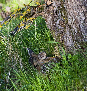 Roe deer (Capreolus capreolus) fawn curled up at base of tree, Estonia, May 2009  -  Wild Wonders of Europe / Rautiainen