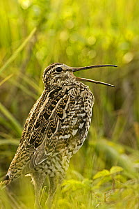 Great snipe (Gallinago media) calling, Matsalu National Park, Estonia, May 2009 WWE BOOK. WWE INDOOR EXHIBITION  -  Wild Wonders of Europe / Rautiai
