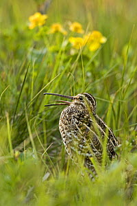 Great snipe (Gallinago media) calling, Matsalu National Park, Estonia, May 2009  -  Wild Wonders of Europe / Rautiainen