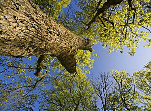 Oak (Quercus sp) Matsalu National Park, Estonia, May 2009  -  Wild Wonders of Europe / Rautiainen
