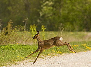 Roe deer (Capreolus capreolus) leaping, Matsalu National Park, Estonia, May 2009  -  Wild Wonders of Europe / Rautiainen