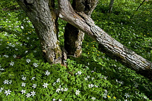 Wood anemones (Anemone nemorosa) flowering around partially fallen tree, Matsalu National Park, Estonia, May 2009  -  Wild Wonders of Europe / Rautiainen