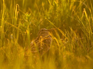 Great snipe (Gallinago media) in long grass, Matsalu National Park, Estonia, May 2009  -  Wild Wonders of Europe / Rautiainen
